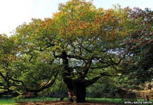 Allerton Oak, Merseyside | England's  Tree of the Year | Treehouse Holidays