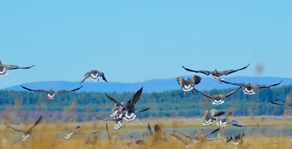 A flock of pink footed geese flying in the air